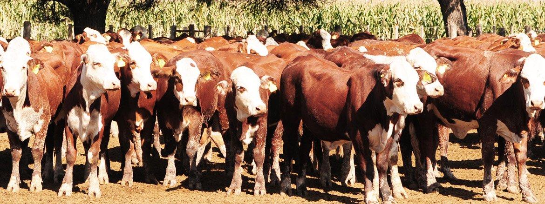 Más investigación para la cadena de ganados y carnes